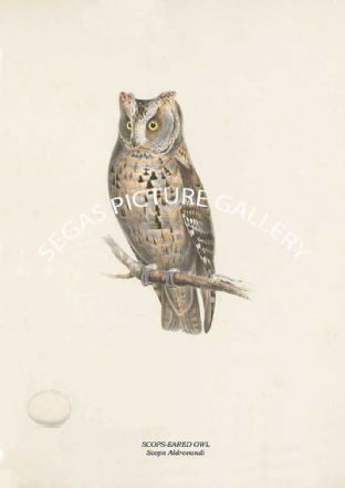 SCOPS-EARED OWL - Scops Aldrovandi